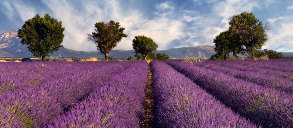 french lavendar